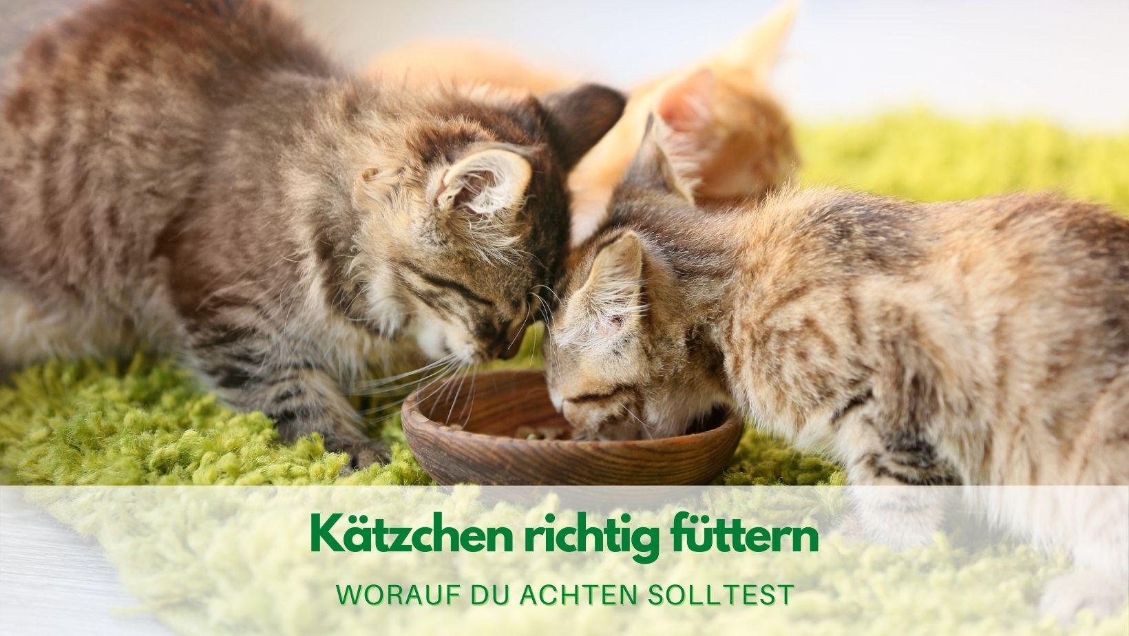 Kätzchen richtig füttern